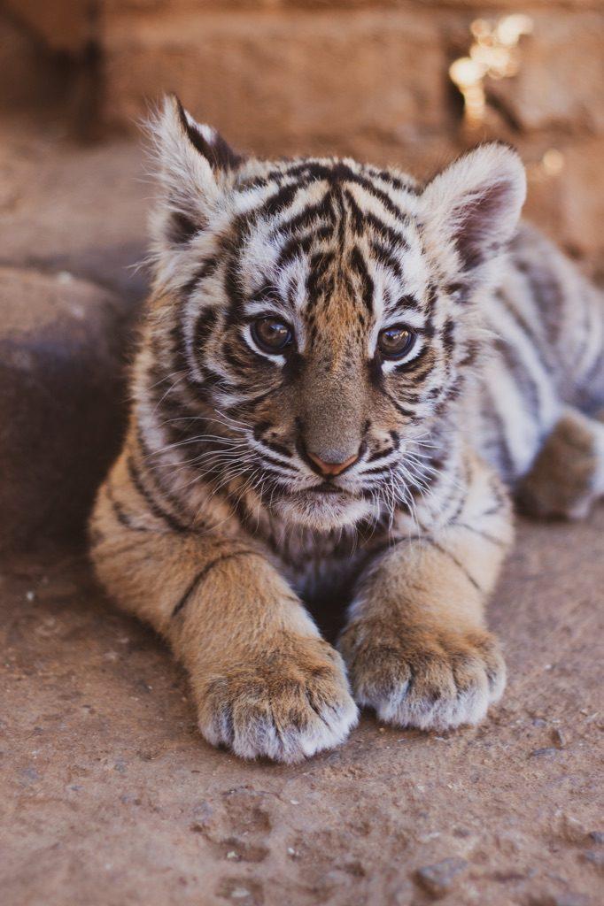 ben jij die tijger op kantoor?